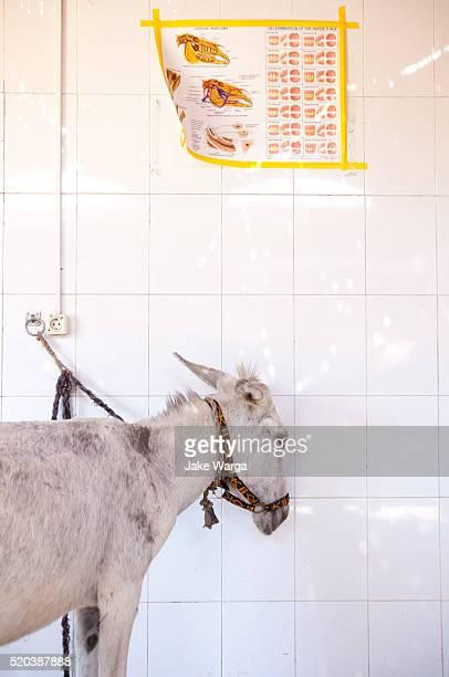 Sick donkey in animal clinic, Luxor, Egypt