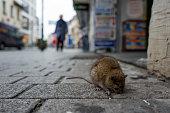 Sick rat on a Boardwalk in Frankfurt