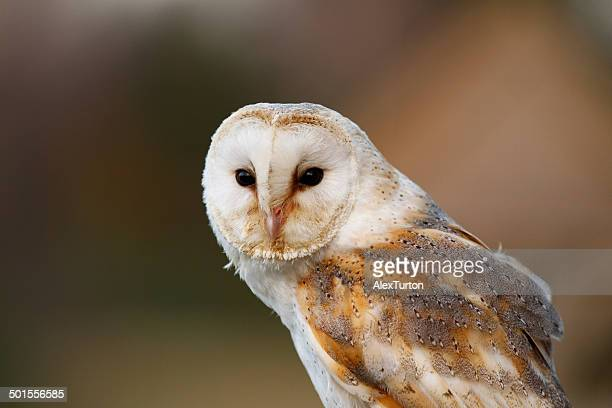 barn owl stock photos and pictures getty images. Black Bedroom Furniture Sets. Home Design Ideas