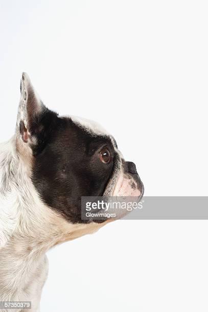 Side profile of a Boston Terrier's head
