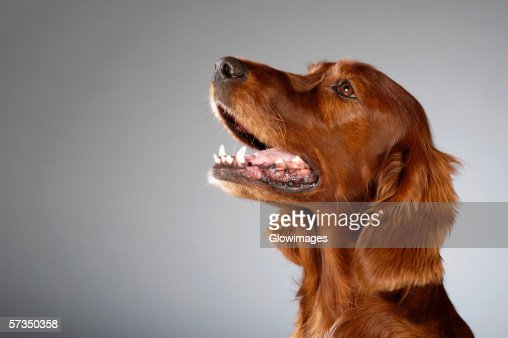 Side profile of a Cocker Spaniel's looking up : Stock Photo