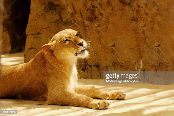 Side profile of a lion in a zoo