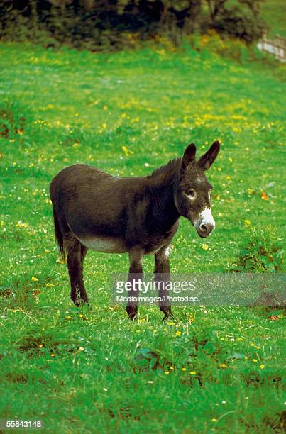 Side profile of a young mule standing in a field, Cregnesh, Isle of Man, British Isles