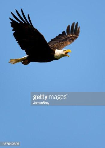 Side Profile of Bald Eagle Flying in Blue Sky