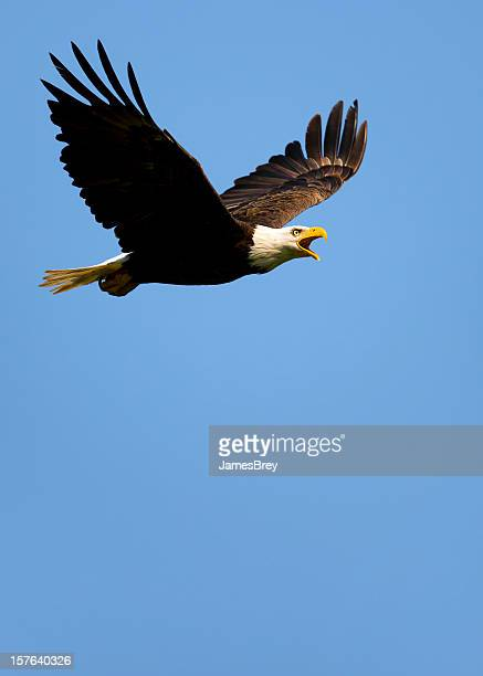 Side Profile of Bald Eagle Flying in Blue Sky
