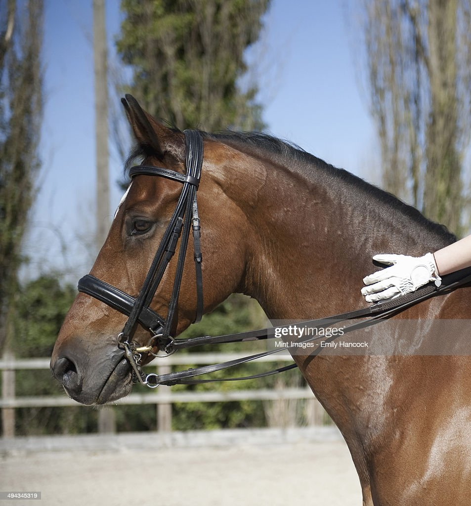 Side view. A bay horse with a bridle. A rider's gloved hand on the glossy brown hide of the neck.