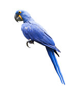side view full body of hyacin macaw bird isolated white background