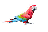side view full body of scarlet ,red macaw bird isolated white background