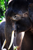 Side view of a Asian Elephant (Elephas maximus)