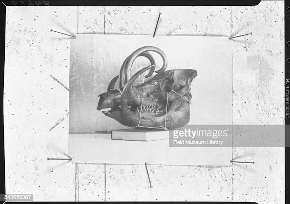 Side view of a Babirusa skull at the Field Museum Chicago Illinois August 1949