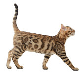 Side view of a bengal cat walking and looking up into a copy space isolated on a white background
