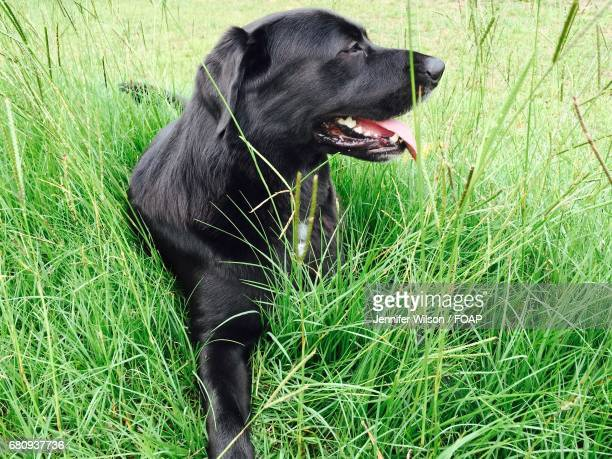 Side view of a black dog sitting