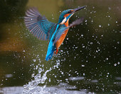 Kingfisher, Alcedo atthis, Diving for fish, Worcestershire, November 2009