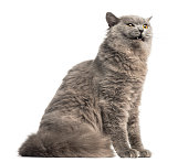 Side view of a British Longhair sitting, looking agressive, isolated on white