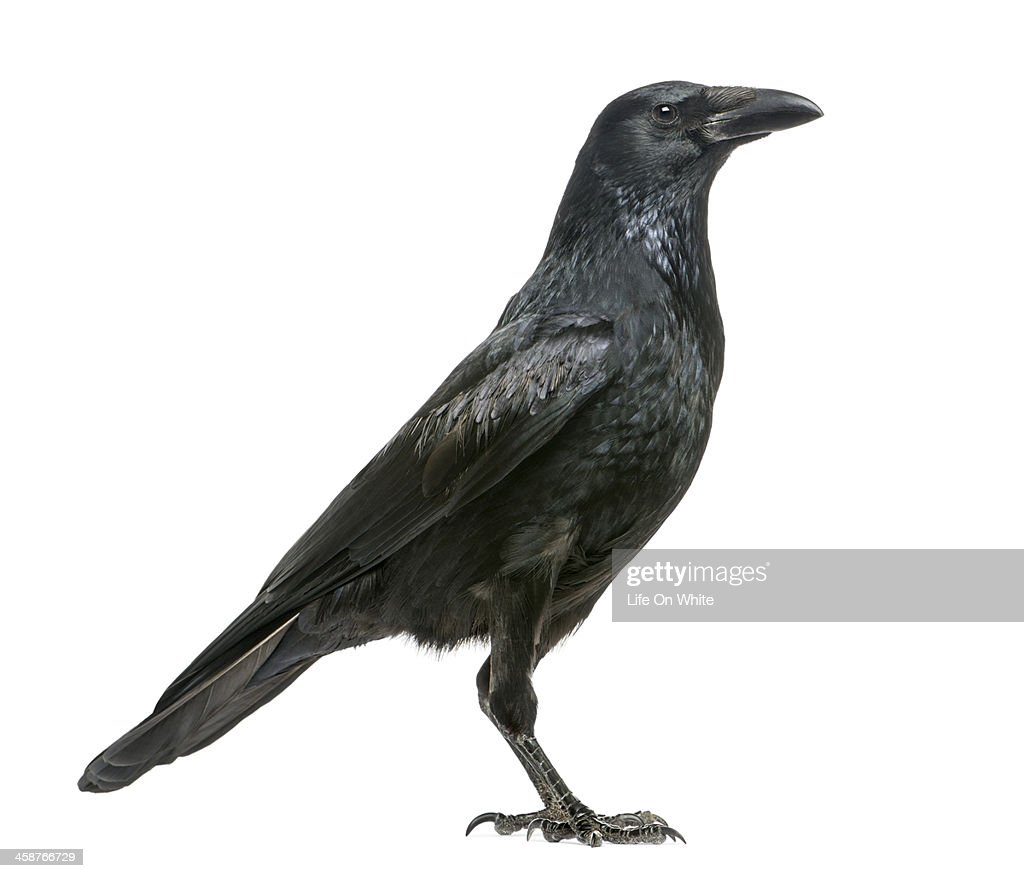 Side view of a Carrion Crow, Corvus corone