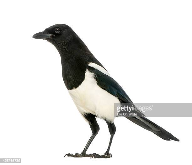 Side view of a Common Magpie, Pica pica