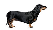 Side view of a dachshund against white background