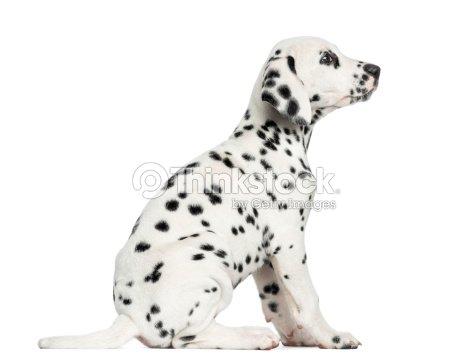 Vue lat rale dun chiot dalmatien assis vous recherchez for Cout d un chien assis
