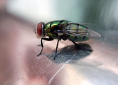Side View Of A Green House Fly Red Eyes