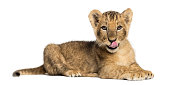 Side view of a Lion cub lying, licking