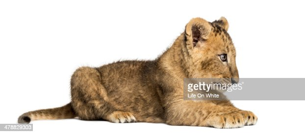 Side view of a Lion cub lying, looking away