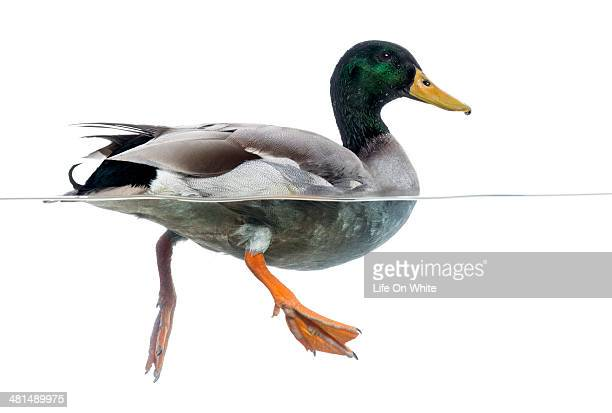 Side view of a Mallard floating