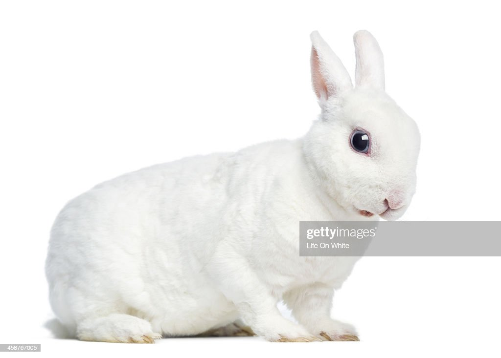 Side view of a Mini rex rabbit, isolated