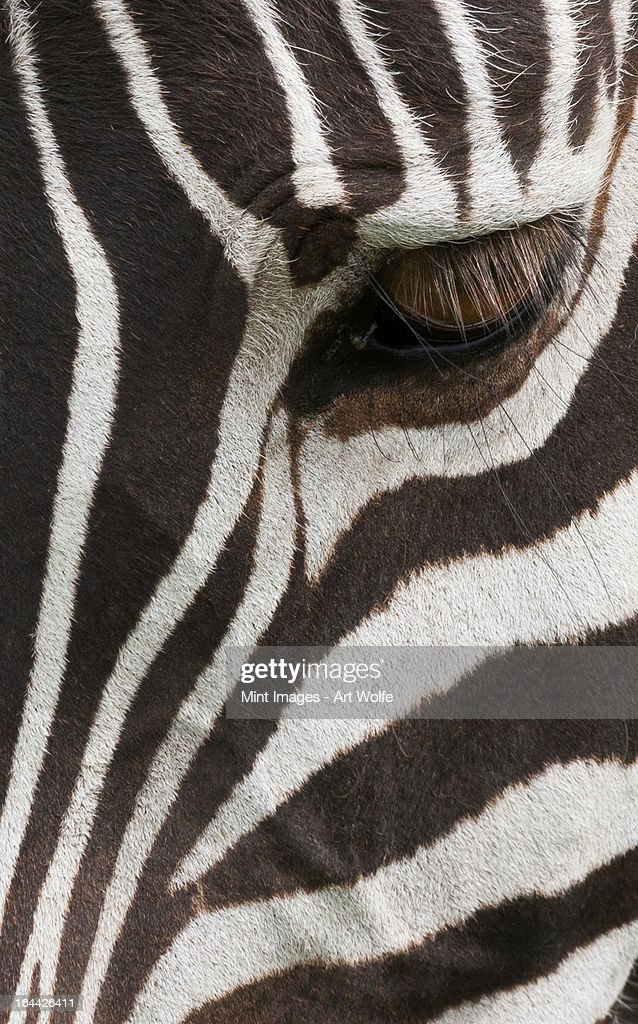 Side view of a plains zebra head, with the eye open. Ngorongoro Conservation Area, Tanzania