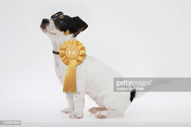 side view of a puppy wearing winner's rosette