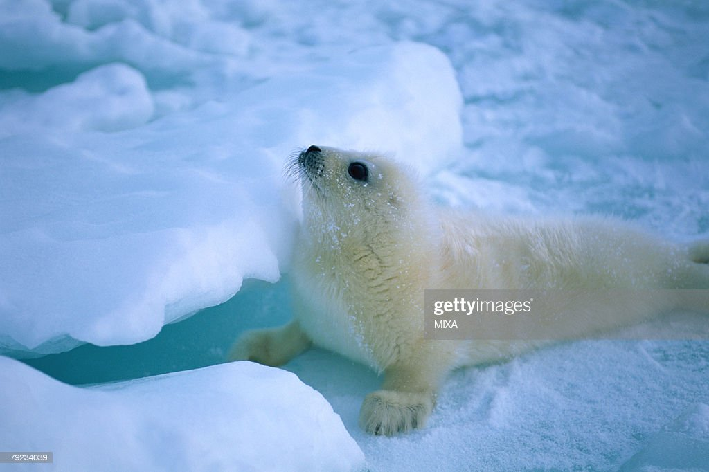Side view of a seal lying on a snowy land : Stock Photo