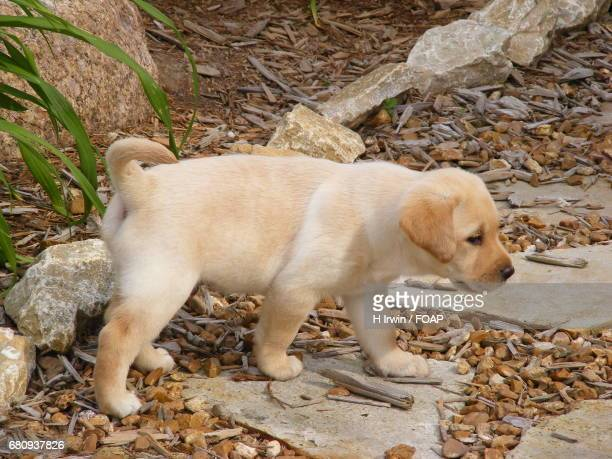 Side view of a standing puppy