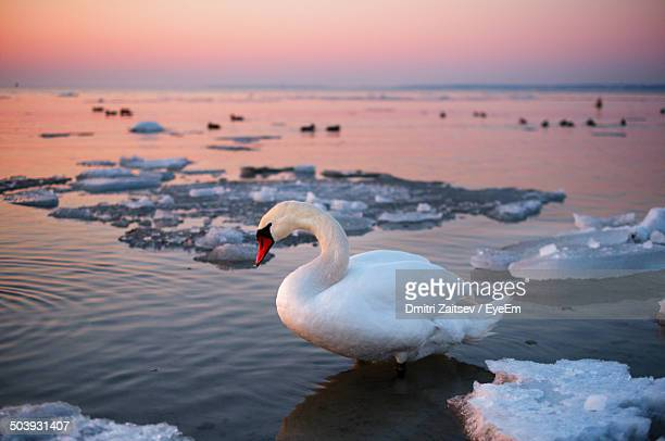 Side view of a swan in water