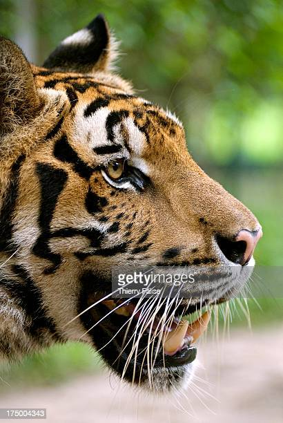 Side view of a tiger's face