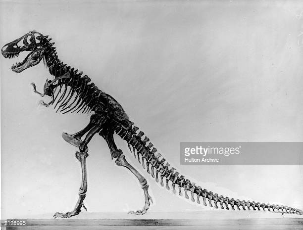Side view of a tyranosaurus skeleton undated