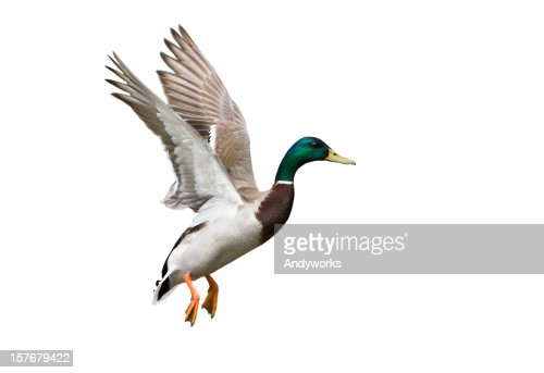 Side view of a white, green and brown Flying Mallard Drake