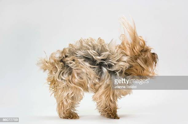 Side view of a Yorkshire Terrier