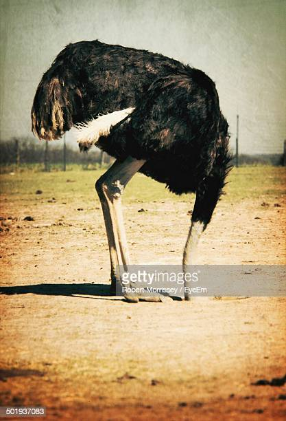Side view of an ostrich on landscape