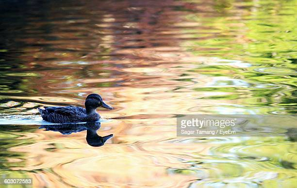Side View Of Bird In Rippled Water