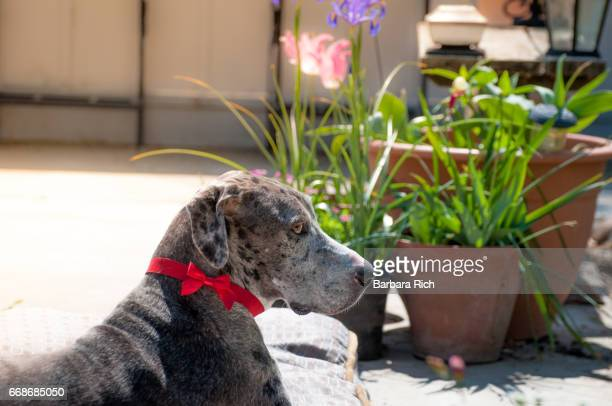 Side View of Blue Merle Great Dane in the garden with red bow