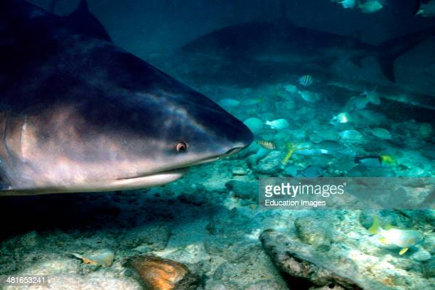 Side view of Bull shark Carcharhinus leucas in shallow water belongs to the dangerous sharks list and often stays in the shallow water near the shore...