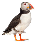 Atlantic Puffin or Common Puffin, Fratercula arctica, in front of white background.