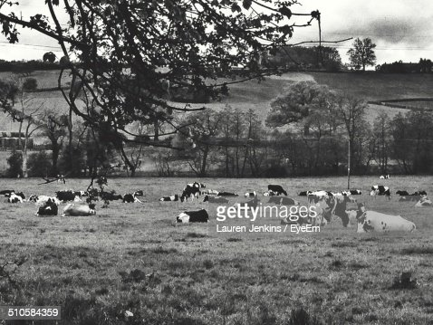 Side view of cows relaxing on landscape against trees