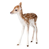 Side view of Fallow Deer Fawn tanding against white background