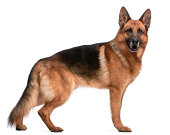 German Shepherd, 5 years old, in front of white background.