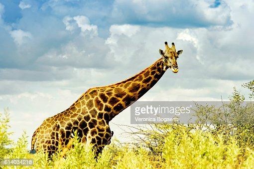 Side view of giraffe walking in the African wilderness