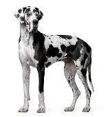 Great Dane Harlequin, 4 years old, standing in front of white background.