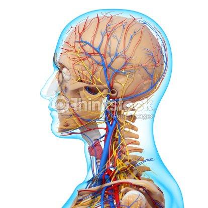 Seitenansicht Des Kopf Kreislauf Anzuregen Und Nervensystem Stock ...