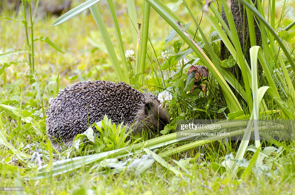 Side View Of Hedgehog On Plants