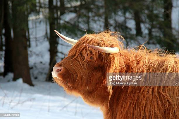 Side View Of Highland Cattle In Snow Field