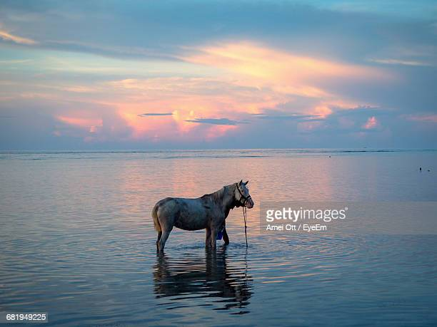 Side View Of Horse Standing In Sea During Sunset
